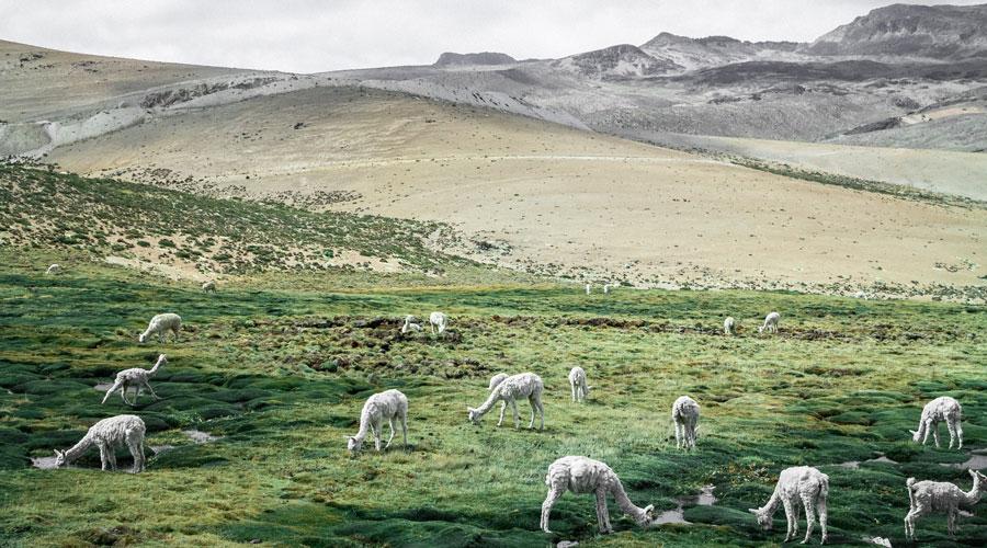 alpacas graze in field